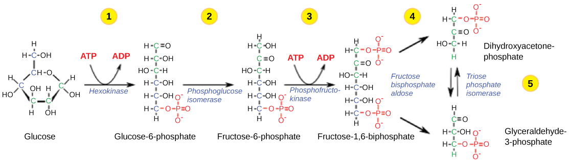 Illustration showing the first stage of glycolysis
