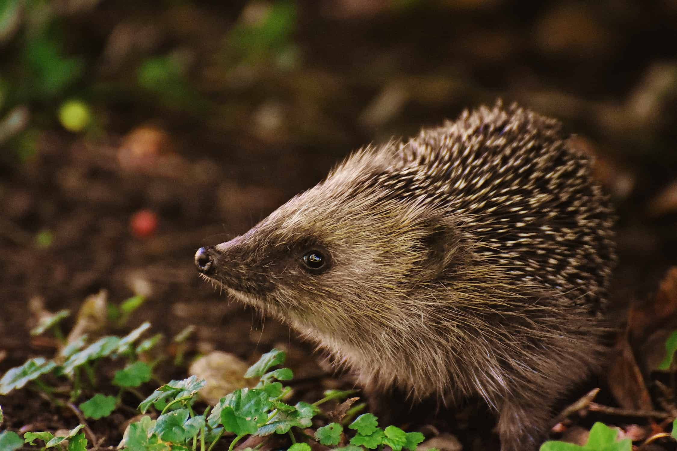 A hedgehog in the woods
