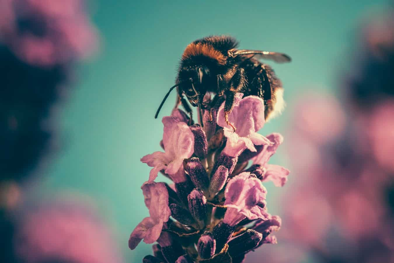 Micro shot of a bee on a pink flower