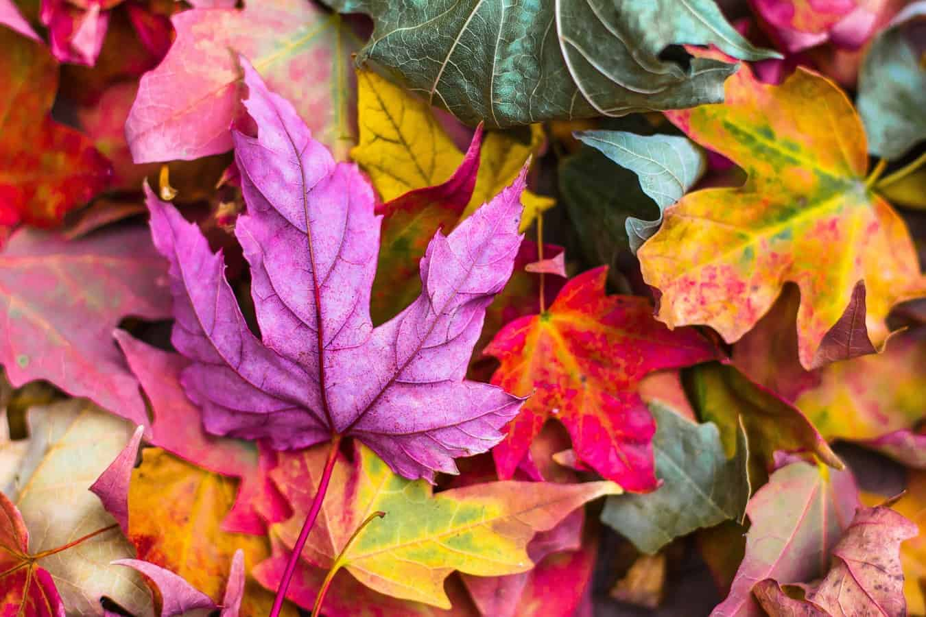 A pile of brightly coloured leaves