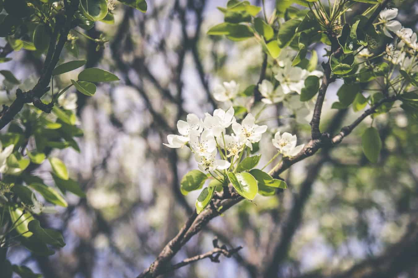 Flowers blooming in a tree, marking the start of spring and Spring Fever