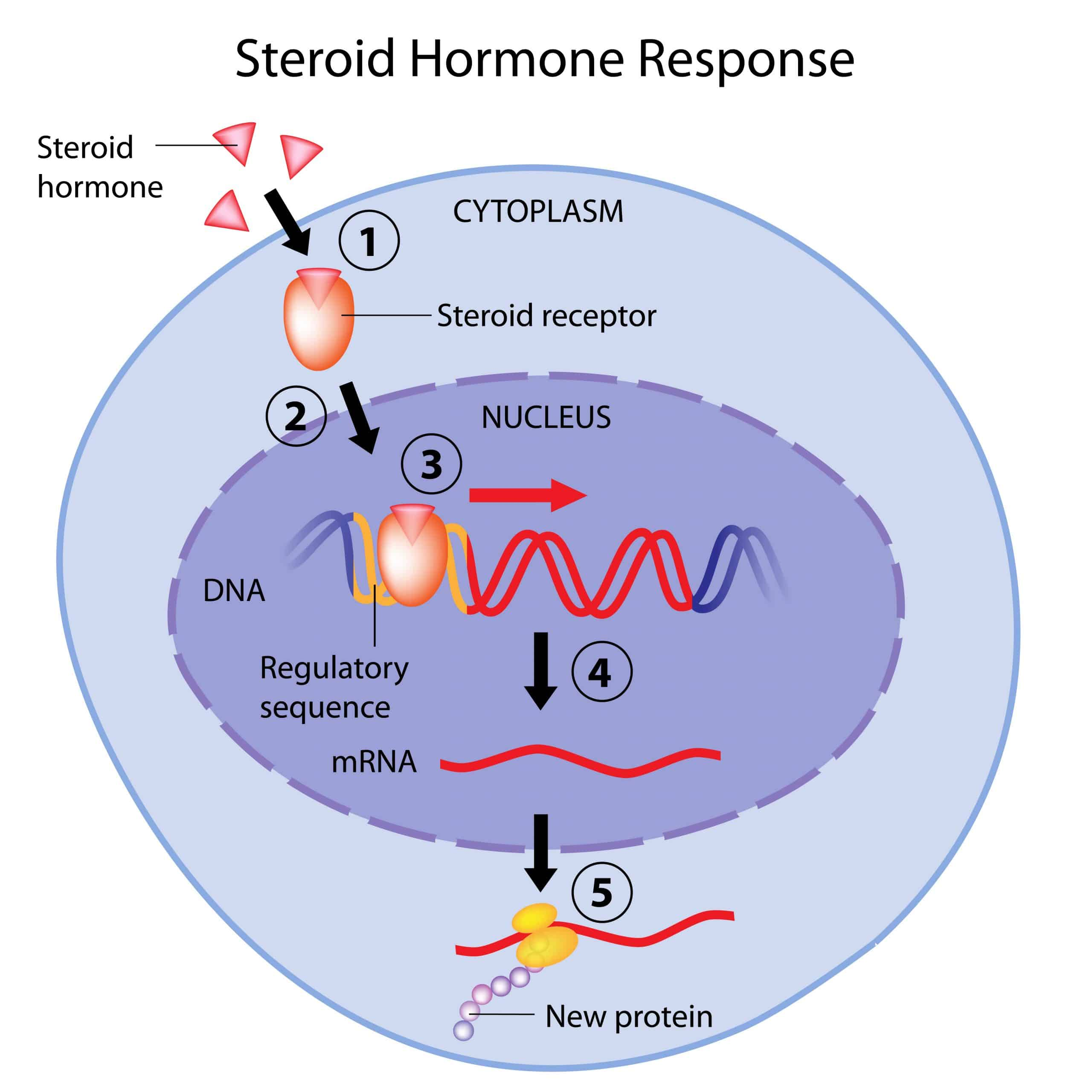 Diagram showing how steroids bind with hormone receptors