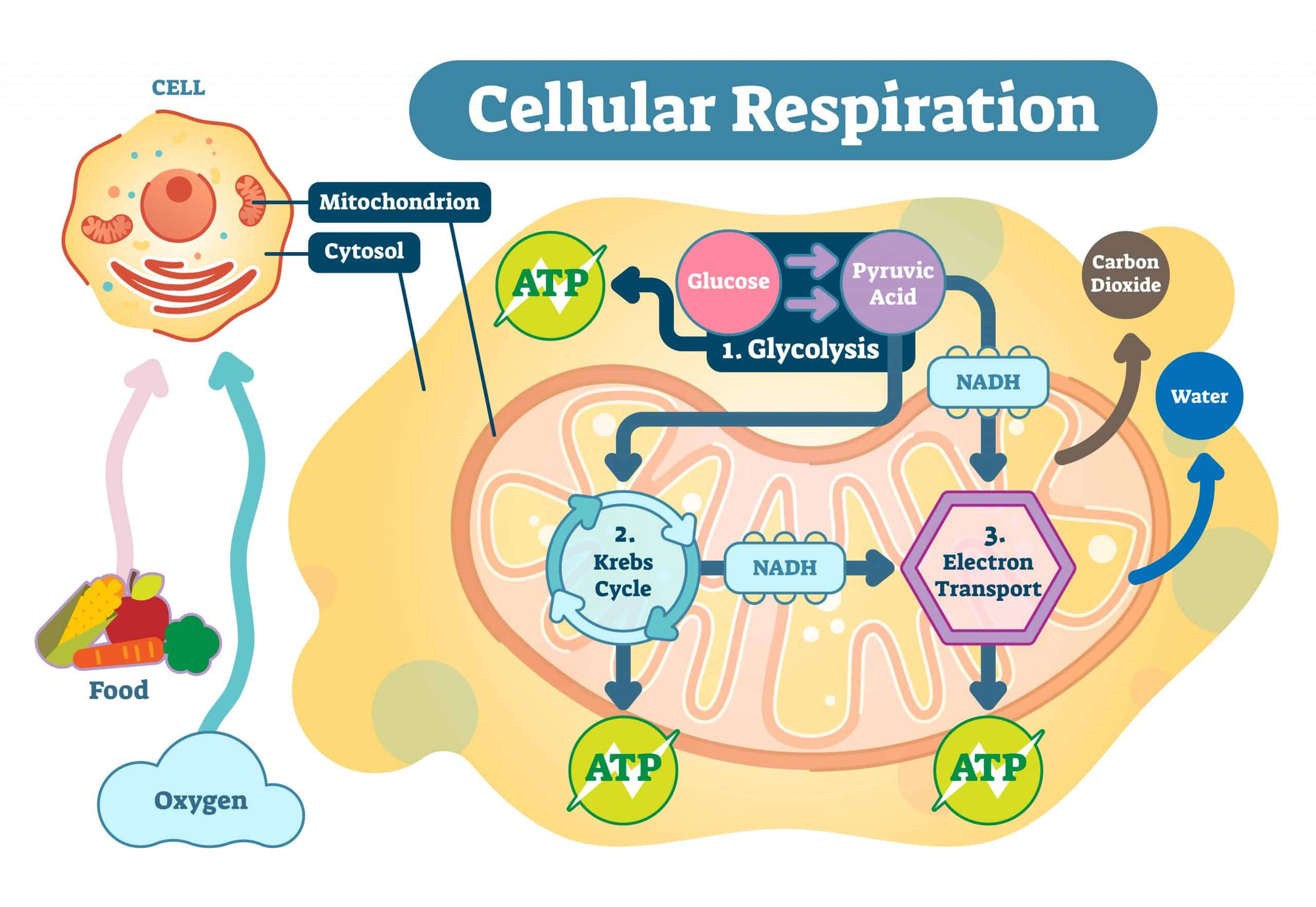 Diagram showing how cellular respiration works